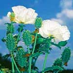 Prickly Poppy (Argemone mexicana)