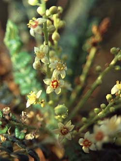 Boswellia serrata 5:1 Extract