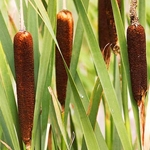 Typha capensis (Love Reed)