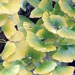 Gingko Leaves (Ginko biloba)