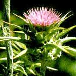 Milk Thistle Seed Whole (Silybum marianum)
