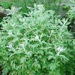 Wormwood Powdered (Artemisia absinthum)